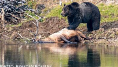 Photo of KRUG PRIRODE: Medved grizli kampovao u Nacionalnom parku Jelouston, čuvajući lovinu (VIDEO)