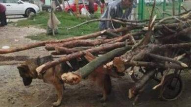 Photo of DA LI JE OVO MOGUĆE: Ovaj pas pokušava da hoda, ali mu je TOVAR PREVIŠE TEŽAK