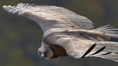 Photo of DIVNA VEST: Ženka orla zmijara KRENULA NA SEOBU!