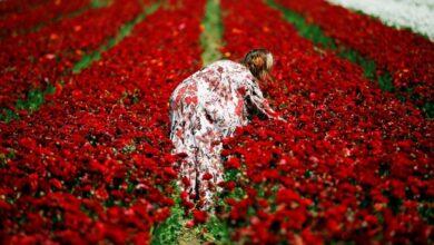 Photo of SLIKA DANA: Žena bere ljutiće u polju cveća u južnom Izraelu, pored Pojasa Gaze