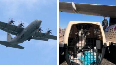 Photo of NAJVEĆA MISIJA SPASAVANJA: 157 pasa i 525 mačaka iz azila na Havajima, NA PUTU KA NOVIM DOMOVIMA
