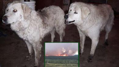 Photo of HEROJI: Dva psa NISU HTELI DA NAPUSTE ovce da bi ih ZAŠTITILI OD POŽARA