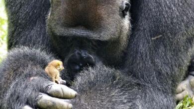 Photo of Ogromna GORILA je prijatelj sa majušnom BEBOM GALAGOSA