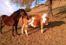 Photo of NEOBIČNA LJUBAVNA PRIČA: Konj Soko sa Golije i krava Šarka