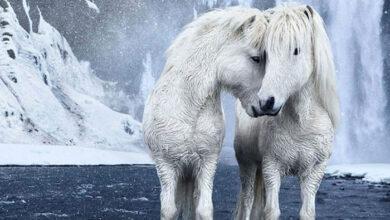 Photo of SLIKA DANA: Divlji konji u mitskoj lepoti islandskih pejzaža