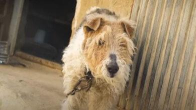 Photo of Nakon što je život PROVEO NA LANCU, kad je spasen – ZAPLAKAO JE (VIDEO)