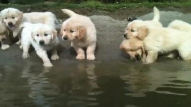 Photo of PRVO PLIVANJE štenaca zlatnog retrivera (VIDEO)