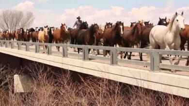 Photo of Zapanjujući snimci STOTINE KONJA na ulicama Kolorada (VIDEO)
