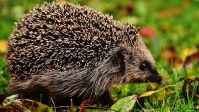 Photo of Da li ste znali da je JESEN POSEBNO OPASNA za ženke ježeva?