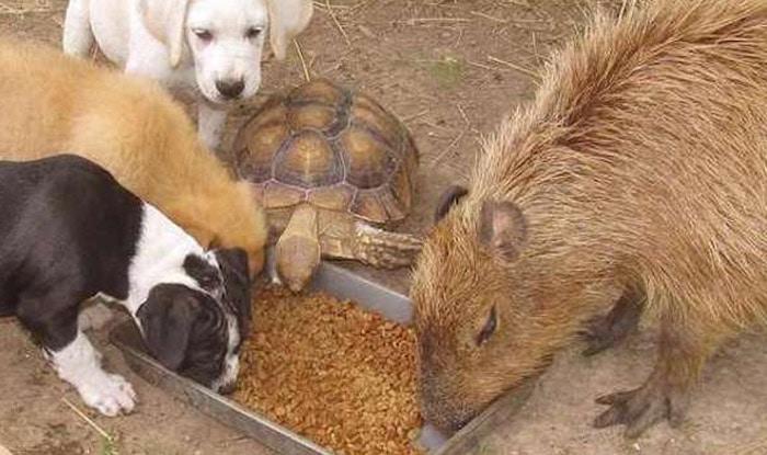 Photo of Kapibara i spasene životinje u prihvatilištu stvorile su NEVEROVATNU PORODICU
