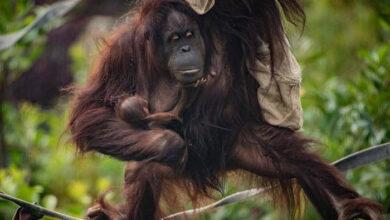 Photo of IZNENAĐENJE: Orangutan rođen u zoo vrtu Čester nakon majčinog NEGATIVNOG TESTA TRUDNOĆE