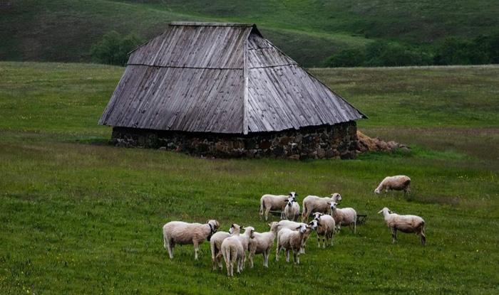 Photo of SLIKA DANA: Ovce na Rudini, na Zlatiboru