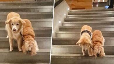 Photo of Slepi pas ima LIČNOG SLUŽBENOG PSA, koji mu pomaže u svemu (VIDEO)