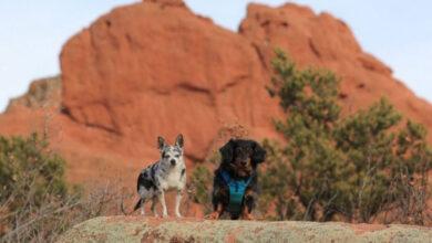 Photo of Pas SPASIO drugog psa od NAPADA PLANINSKOG LAVA, u Koloradu
