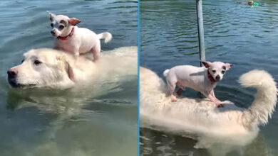 Photo of Čivava koristi svog najboljeg prijatelja kako bi UŽIVALA U POGLEDU (VIDEO)