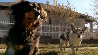 Photo of Ovaj hrabri psić je SPASIO svog prijatelja od NAPADA PLANINSKOG LAVA (VIDEO)