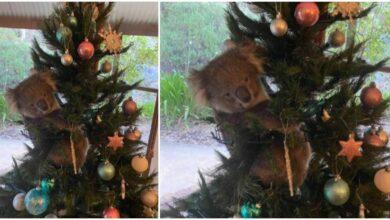 Photo of Koala ušetala U JEDNU KUĆU i smestila se NA BOŽIĆNU JELKU