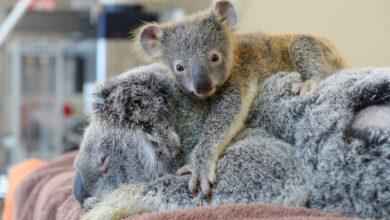 Photo of Beba koala GRLI MAMU tokom operacije (VIDEO)