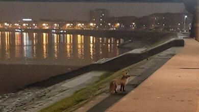Photo of SLIKA DANA: Lisica prošetala kejom u Novom Sadu