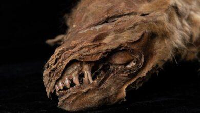Photo of U Kanadi nađeno MUMIFICIRANO MLADUNČE VUKA koje je živelo pre 56.000 godina!