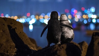 Photo of SLIKA DANA: Najbolja fotografija 2020 – dva zagrljena pingvina u Australiji