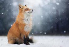 Photo of Upoznajte PRELEPU LISICU FREJU, slikanu u jednoj šumi u Poljskoj