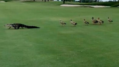 Photo of Besne guske PROGONILE ALIGATORA kroz golf teren (VIDEO)