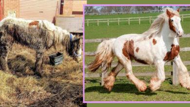 Photo of Ova kobila je bila na IVICI SMRTI kada je spasena, A SADA PLENI LEPOTOM I OSVAJA NAGRADE! (VIDEO)
