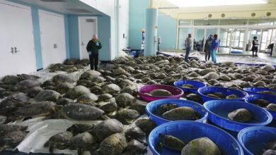 Photo of TEKSAS: Više hiljada morskih kornjača se NASUKALO NA OBALE