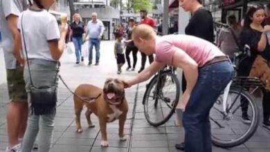 Photo of Porodica ŠETA SA PIT BULOM ulicama Roterdama i pokazuje drugu stranu ovih pasa (VIDEO)