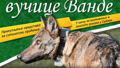 Photo of SJAJNA VEST: Prikupljena sredstva za praćenje vučice Vande i istraživanje vukova u Srbiji