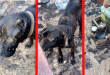 Photo of UŽASAN PRIZOR u Resniku – dva vlasnička psa CANE CORSO u očajnom stanju