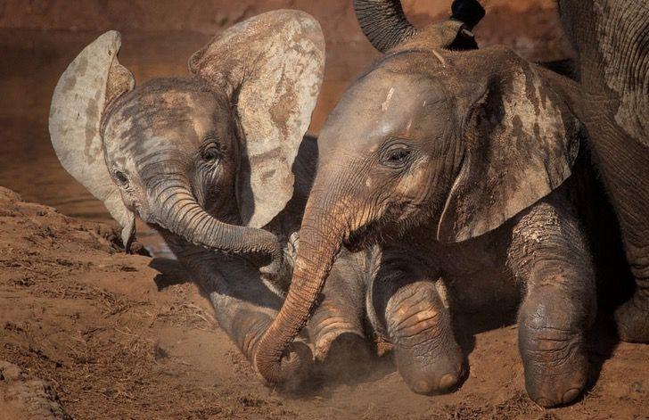 Photo of Jednostavnost i lepota života: Igra dve bebe slona KOJA ĆE VAM ZAGARANTOVANO ULEPŠATI DAN
