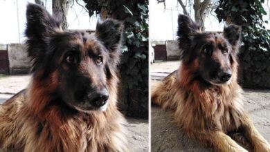Photo of Ženkica vučjaka je spasena iz azila u Zrenjaninu, JER JE PRONAŠLA SVOJ DOM
