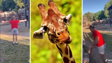 Photo of Bahatost na delu: TikToker MALTRETIRAO ŽIRAFU u Beogradskom zoo vrtu?!