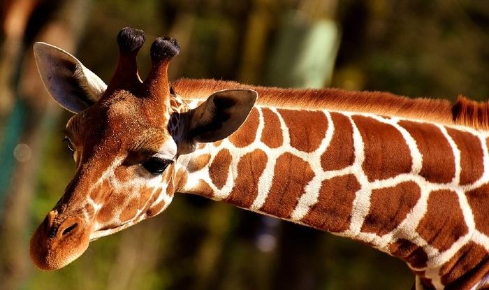 Photo of 21. jun – Svetski dan žirafa: Najduži dan u godini simbolično posvećen NAJVIŠOJ KOPNENOJ ŽIVOTINJI