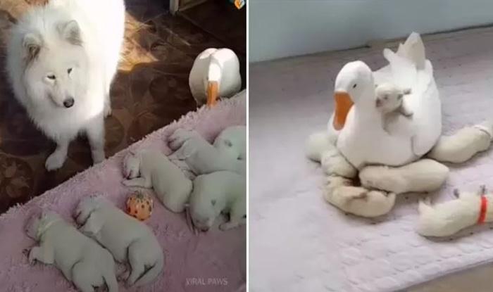 Photo of Guska POMAŽE ISCRPLJENOJ MAJCI PSU i deli sa njom brigu o štencima (VIDEO)
