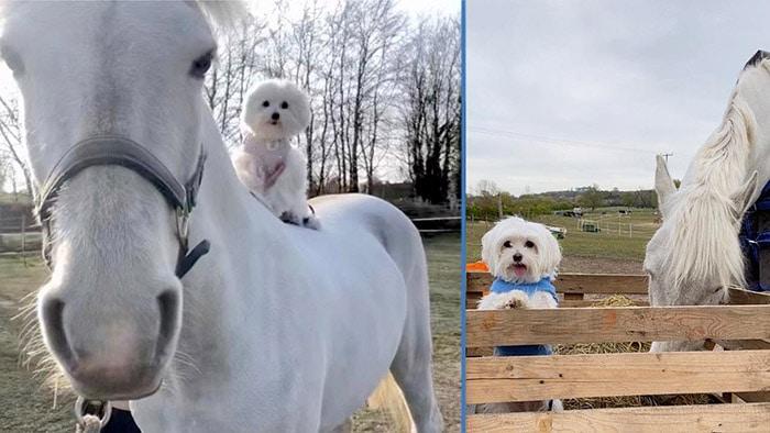Photo of Konj se sprijateljio sa maltezerom i NOSI DA GA LEĐIMA dok šetaju (VIDEO)