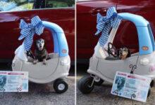 """Photo of Stariji pas dobio SVOJ AUTO I VOZAČKU DOZVOLU da bi mogao """"LEGALNO"""" DA SE VOZI"""