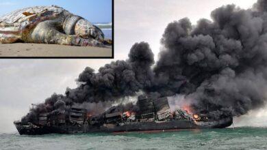 Photo of Stotine kornjača, delfini i kit uginuli zbog potonuća BRODA SA HEMIKALIJAMA?! (VIDEO)