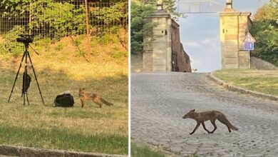 Photo of NOVI SAD: Lisica se prošetala Petrovaradinskom tvrđavom (VIDEO)