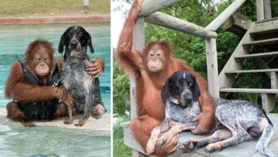 Photo of Nerazdvojni prijatelji: Orangutan Rosko i jedan pas SRELI SU SE KAD IM JE BILO NAJTEŽE