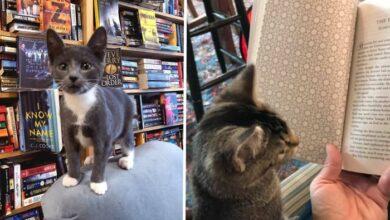 Photo of U ovoj knjižari mačke SLOBODNO ŠETAJU, a kupci ih mogu UDOMITI