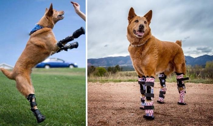 Photo of Upoznajte Nakia: Pas koji je hodao svetom uz pomoć ČETIRI BIONIČKE NOGE