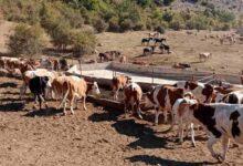 Photo of Krdo sa 1.000 krava i KONJA UMIRE OD ŽEĐI NA SUVOJ PLANINI – stočari apeluju za pomoć!