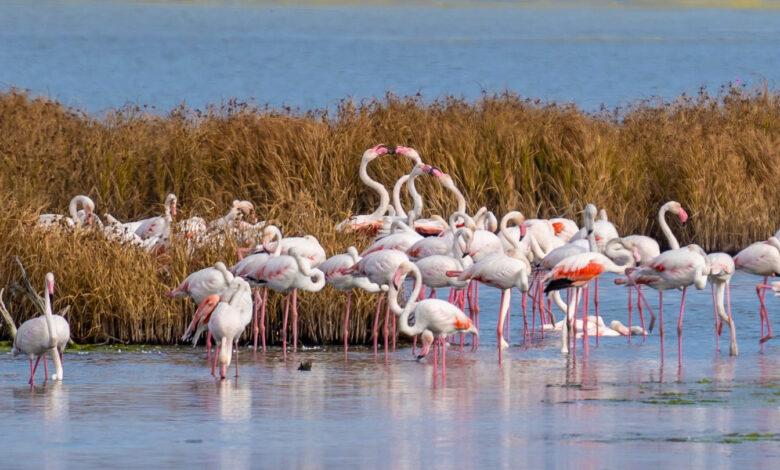 Photo of SLIKA KOJA ODUŠEVLJAVA: Flamingosi u Crnoj Gori!