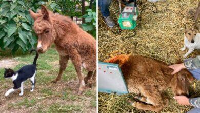 Photo of Sećate se magareta Stane iz Lapova koja se BORI DA USTANE? Rentgen odrađen, ČEKA SE ODGOVOR…